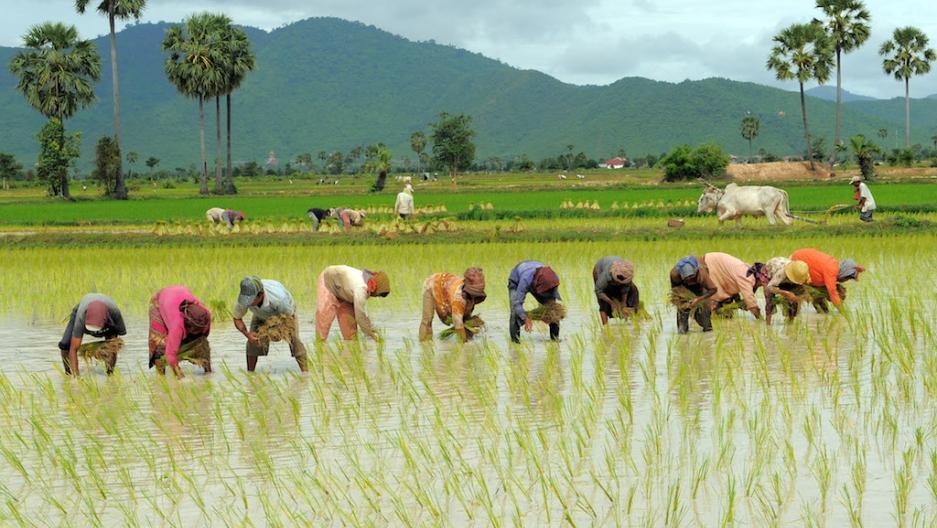 Hoe rijst te bewerken in Nigeria 9 Stap voor stap handleiding
