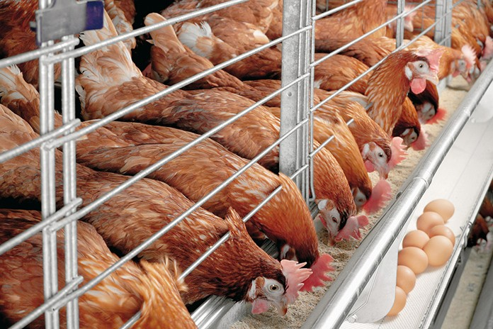 Things to Know About Poultry Feed Production in Nigeria in 2020