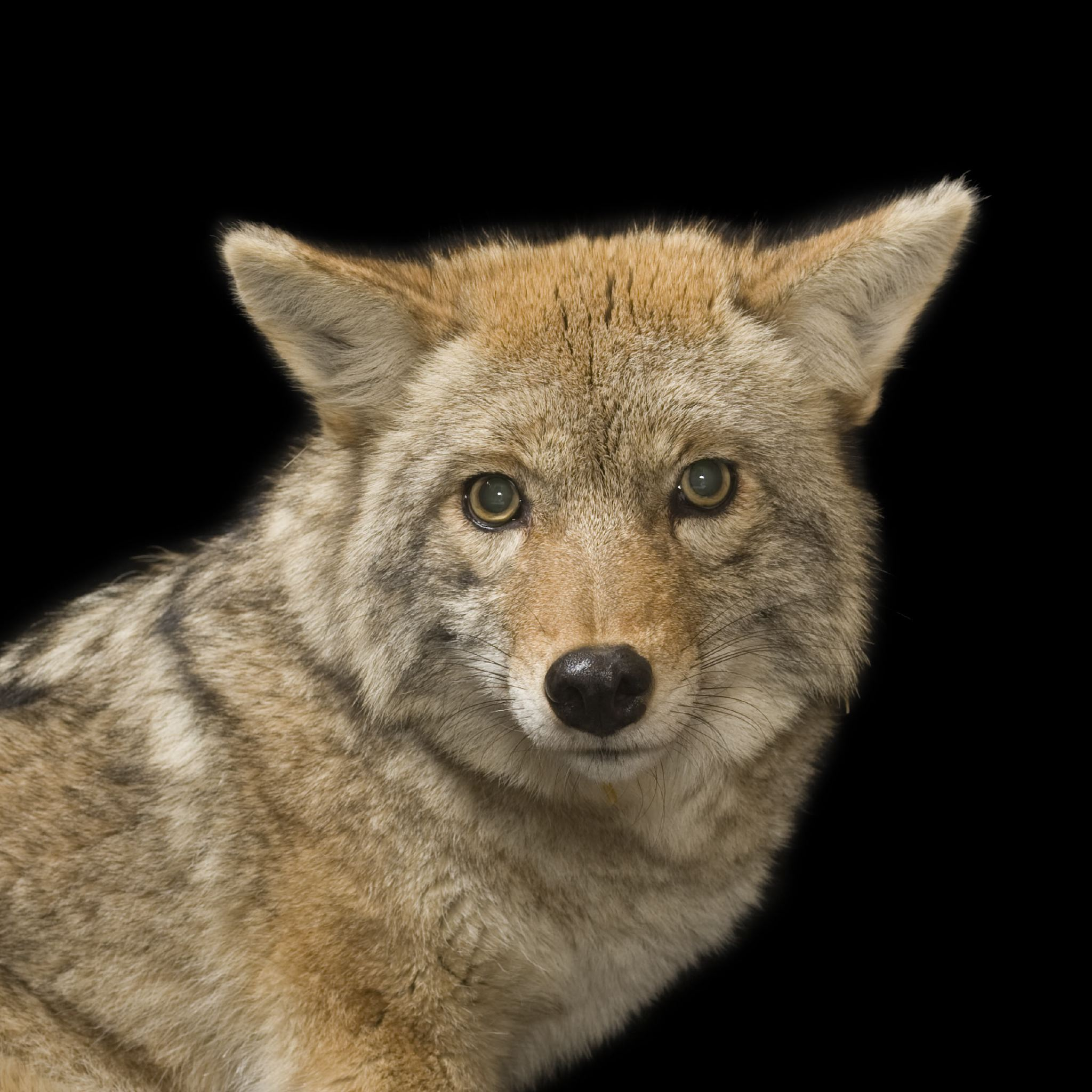 10 Differences Between Coyotes and Foxes You Should Know
