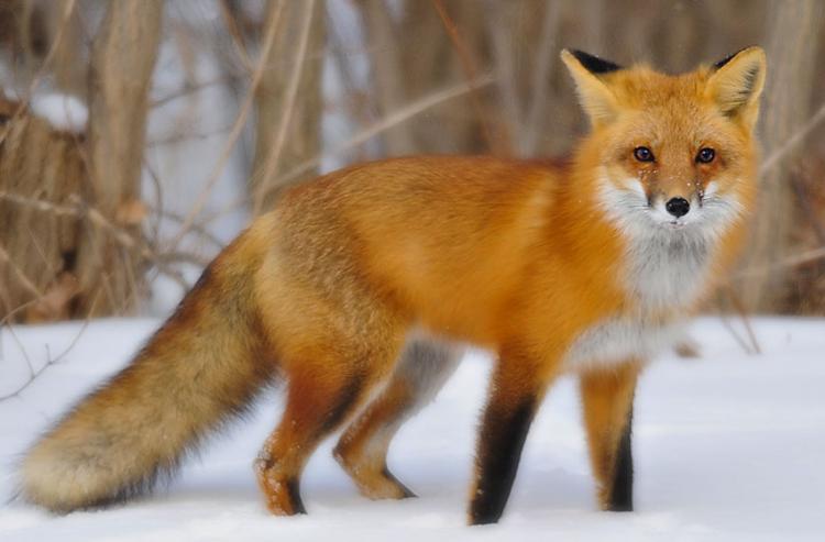 10 verschillen tussen coyotes en vossen die u moet weten